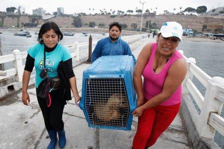 Южных морских львов Алекса и Камило вылечили и выпустили на волю