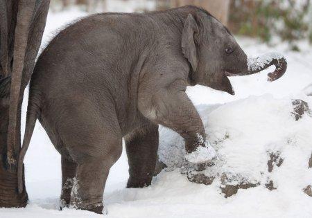 Первый снег в жизни слоненка из Берлинского зоопарка