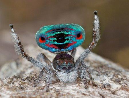 Брачный наряд павлиньего паука
