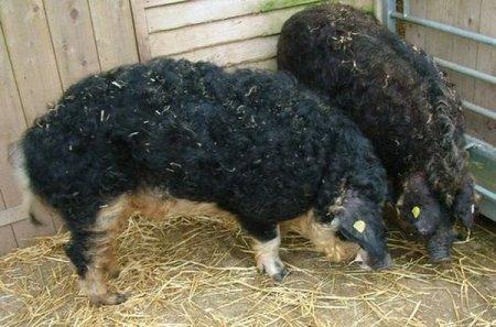 Овцесвиньи или свиноовцы?