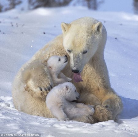 Забавные белые медвежата радуются снегу