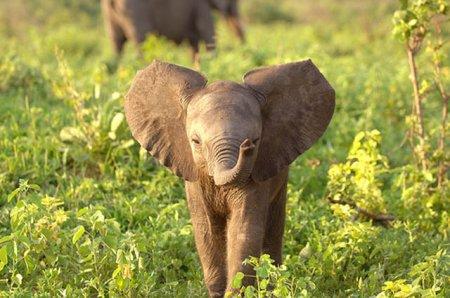 Умилительные слонята (29 фото)