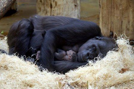 Новорожденный детеныш гориллы в зоопарке Праги