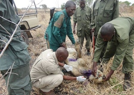 Львы в течение 3-ех лет помогали выжить своему сородичу, попавшему в браконьерскую ловушку