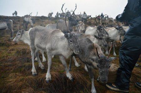 Cairngorm Reindeer Herd – единственное в Великобритании стадо одомашненных северных оленей