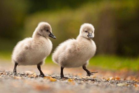 Прелестные фотографии забавных птенцов, сделанные Робертом Адамеком (22 шт)