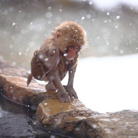 Макаки японского обезьяньего парка в Нагано