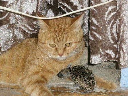 Заботливая кошка-мама растит ежат