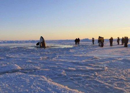 Касатки в ледяной ловушке в водах Гудзонова залива