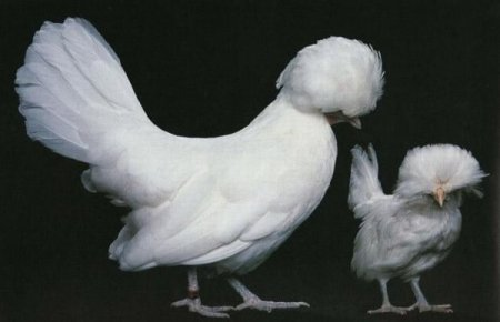 Самые редкие и необычные породы домашней птицы (18 фото)