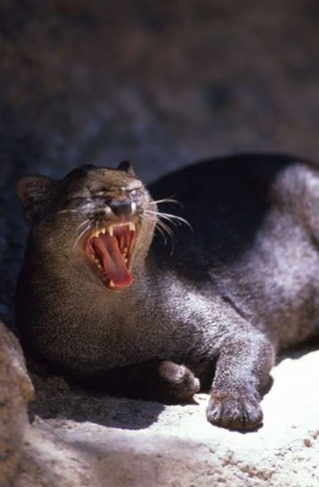 Ягуарунди – необычная хищница