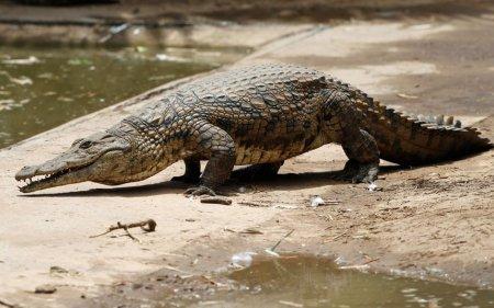 Полтора десятка тысяч крокодилов сбежали с фермы в ЮАР