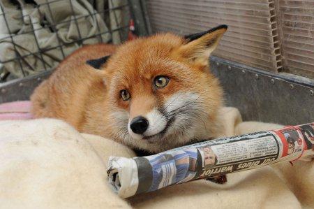 Рокси – лисица, которая ведёт себя, как хозяйский пёс