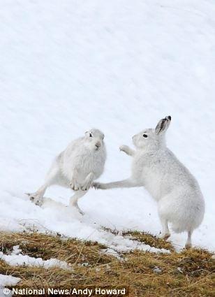 Необычная драка горных зайцев (6 фото)