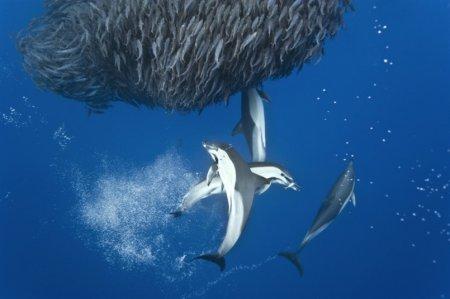 Охота дельфинов и акул на синюю скумбрию