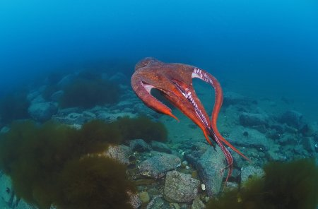 Обитатели морских глубин – осьминоги (17 фото)