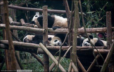 Питомник панд в Чэнду: идеальное царство для ленивых обжор (11 фото)
