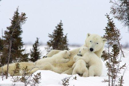 Умилительные фотографии белой медведицы и её 3-хмесячных детёнышей (4 шт)
