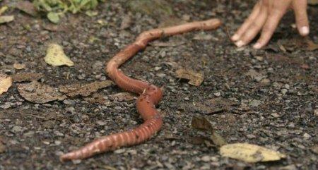 Megascolides australis – гиганты среди червей (16 фото)