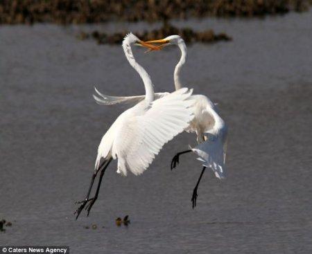 Белые цапли бьются за территорию (4 фото)