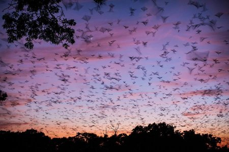 Мигрирующие летучие мыши в фотографиях Уилла Баррарда Лукаса (16 фото)