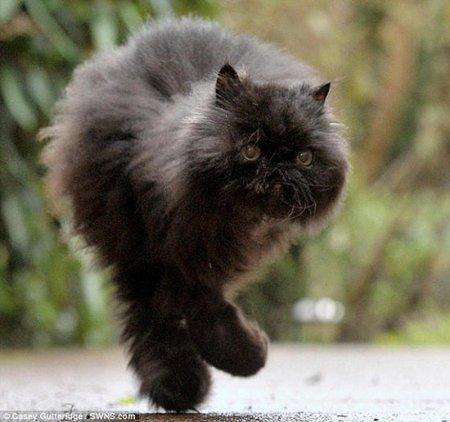 Уникальный двулапый кот Кэффри (4 фото + 1 видео)