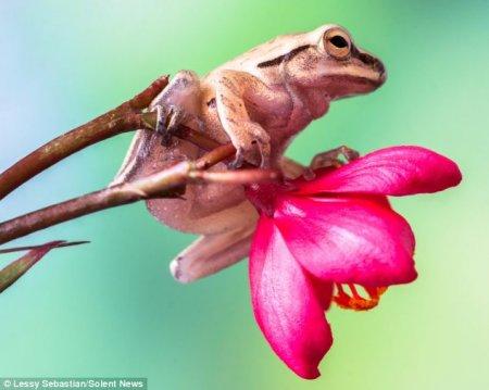 Лягушки Noblella pygmaea – самые крохотные в мире (5 фото)