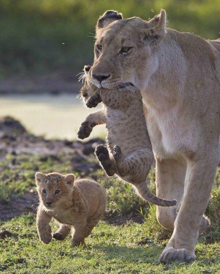 Когда пасть львицы бывает нежной (12 фото)