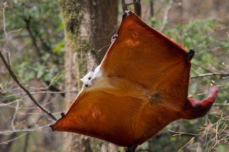 Белка-летяга в полёте (6 фото)