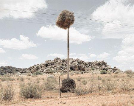 Гнездовья обыкновенных общественных ткачиков в Калахари (8 фото)