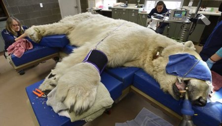27-летний полярный медведь Борис во время врачебного осмотра (10 фото)