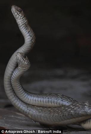 """Змеиный """"танец любви"""" (8 фото)"""