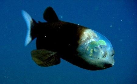Редкие виды рыб, обнаруженные человечеством (10 фото)