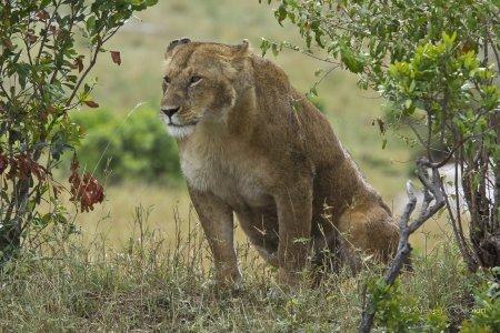 Красота и величие африканских львов (15 фото)