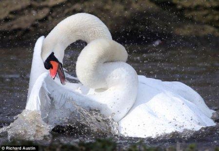 Поединок двух лебедей за превосходство (9 фото)