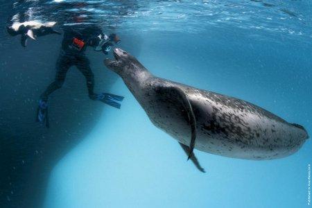 Обитатели Арктики и Антарктики в фотографиях Пола Никлена (24 шт)