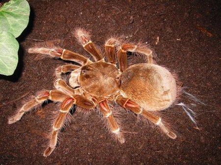 Самый крупный в мире паук Терафоза Блонда (11 фото)