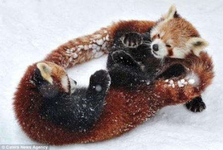 Зимние забавы малых панд (5 фото)
