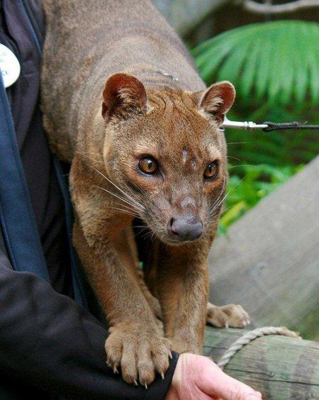 Фосса – главный хищник острова Мадагаскар (12 фото)