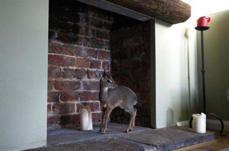 Очарование миниатюрной антилопы Алуны (11 фото)