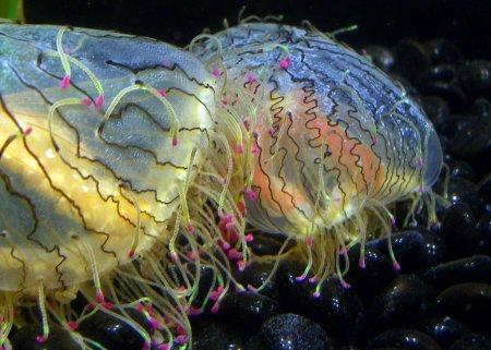 """Ядовитая медуза с безобидным названием """"Цветочная шляпка"""" (4 фото)"""