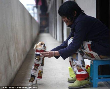 Маленькая собачка, родившаяся без передних лапок, научилась ходить на задних