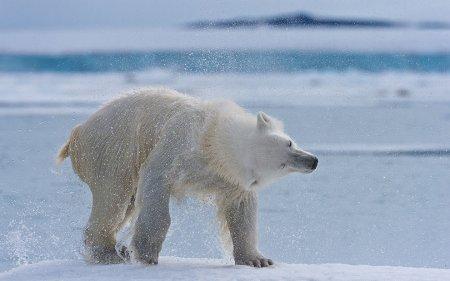 Полярные медведи в фотографиях Майка Рейфмана (14 шт)