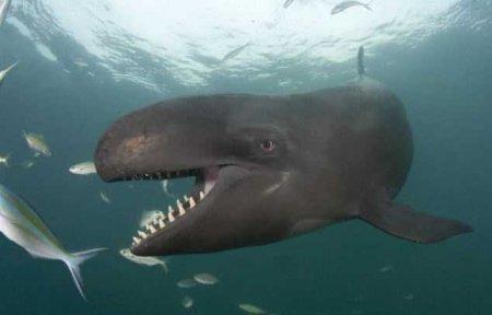 Ложная касатка – самое улыбчивое млекопитающее из семейства китообразных