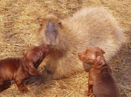 Капибара стала матерью для брошенных щенят (9 фото)
