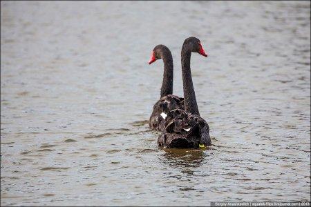 Загадочная красота чёрных лебедей (10 фото)