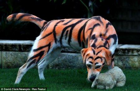 Лабрадор-Тигра (6 фото)