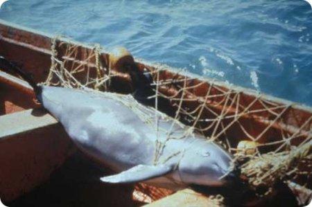 Вакиты – исчезающий вид морских свиней (7 фото + 1 видео)