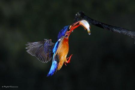 Редкие кадры охоты зимородков (12 фото)