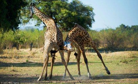 Битва двух самцов жирафа за самку (8 фото)